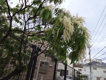 栗の花.JPG
