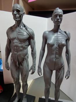 筋肉模型01.JPG